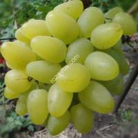 Виноград «Гарольд»