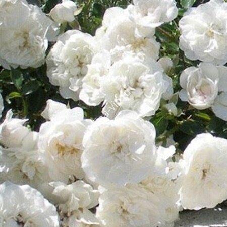 Флорибунда роза Лидия Вайт (White Lydia)