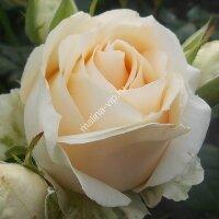 Чайно-гибридная роза Талея (Talea)