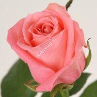 Чайно-гибридная роза Карина (Carina)