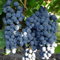 Виноград «Каберне Король»