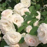 Почвопокрывная роза Аспирин (Aspirin)