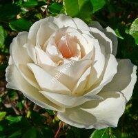 Кустовая роза Артемис (Artemis)