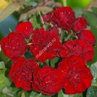 Кустовая роза Мадригал (Madrigal)