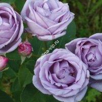 Плетистая роза Индиголетта (Indigoletta)