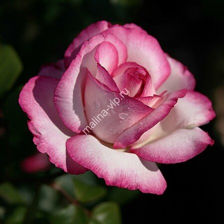 Чайно-гибридная роза Атлас (Atlas)